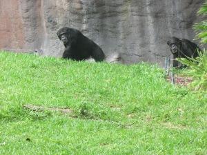 No espaço Myombo Reserve, os visitantes vêem de pertinho gorilas e chimpanzés em um ambiente tropical que simula o habitat natural desses animais, uma espécie de selva africana (Foto: Eduardo Oliveira)