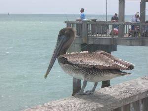 Os pelicanos - são dezenas deles - ficam à espreita esperando para devorar peixes frescos e saborosos! Os pescadores que se cuidem. (Foto: Eduardo Oliveira)