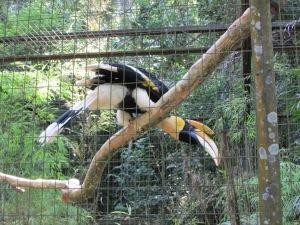 No Paraíso das Aves, o estiloso Calao de Chifre Duplo, pássaro típico da ilha de Sumatra, na Indonésia, também marca presença (Foto: Eduardo Oliveira)