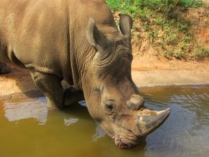 Uma das grandes atrações do Zooparque é o troncudo rinoceronte. Ou melhor, são os troncudos rinocerontes, pois há vários deles por lá (Foto: Eduardo Oliveira)