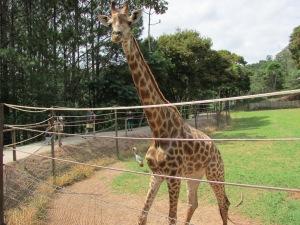 A girafa atrai olhares curiosos dos turistas que visitam o zoo (Foto: Eduardo Oliveira)