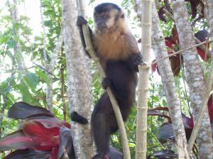 Um solitário macaco-prego observa atento o movimento dos turistas. Animais vêm à área concretada em busca de alimentos (Foto: Eduardo Oliveira)